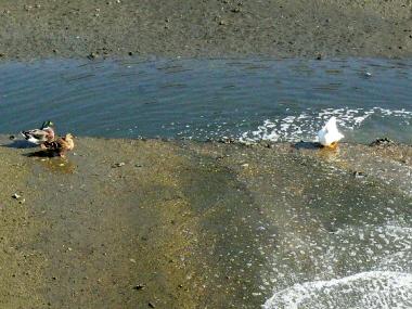 Duck1_3
