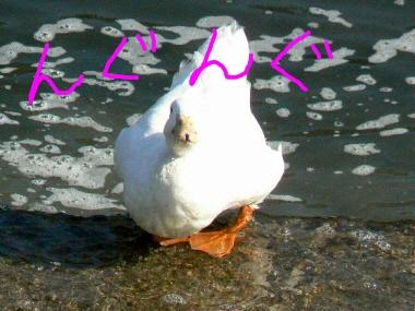 Duck2_3