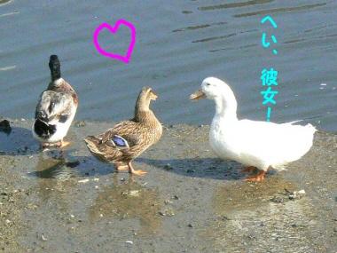 Duck4_2