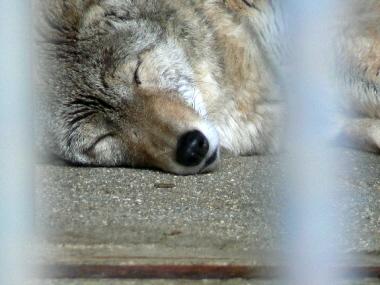 Koyote1