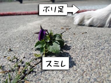 Sumire_1