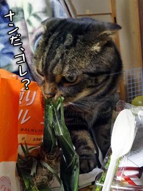 Toumorokoshi_1