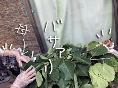剪定 木蓮